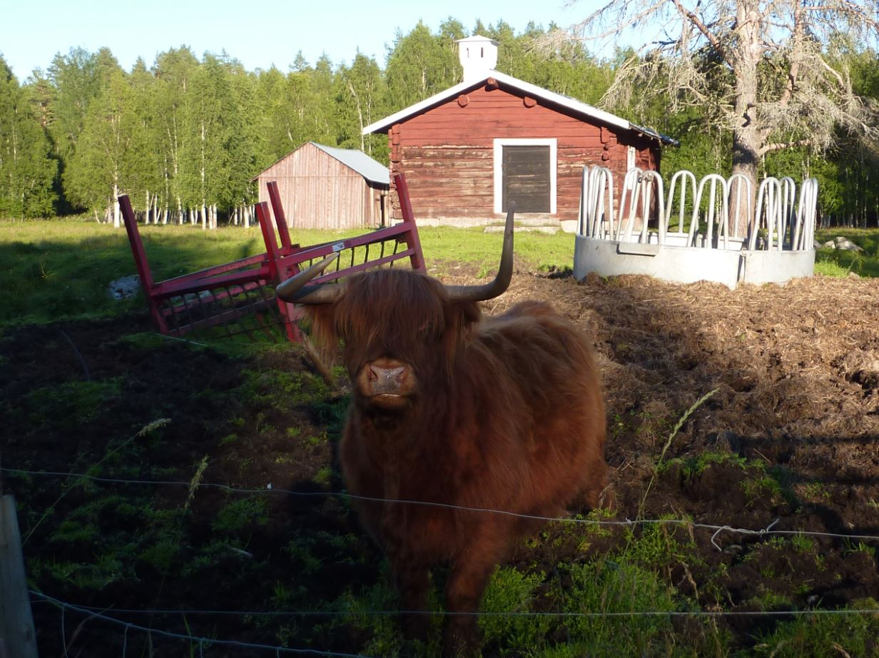 Une petite highland cow - Jamtland 2016