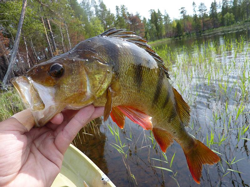 Voyage pêche en Suède
